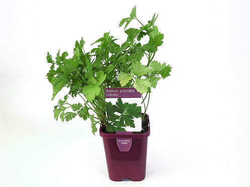 PARSLEY ITALIAN SINGLE POT SIZE 8CM