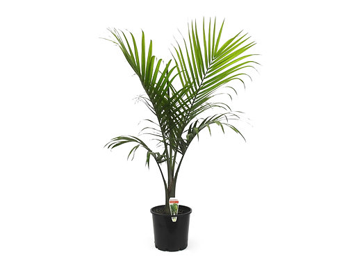 MAJESTIC PALM RAVENEA RIVULARIS  POT SIZE 30CM