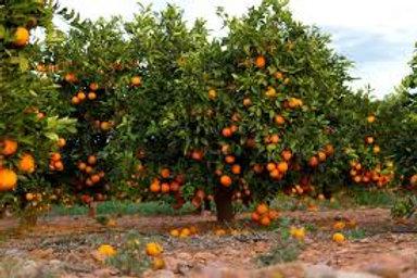 ORANGE TREE CITRUS RETICULATA  POT SIZE 25CM