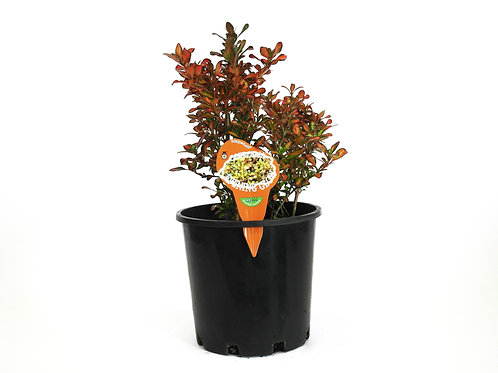 COPROSMA EVENING GLOW POT SIZE 20CM