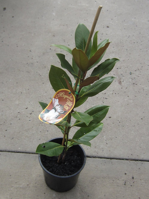 MAGNOLIA LITTLE GEM POT SIZE  30CM