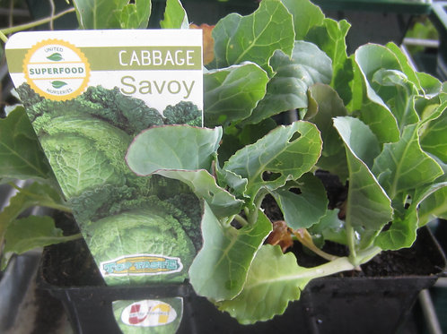 CABBAGE  SAVOY SEEDLING PUNNET SMALL