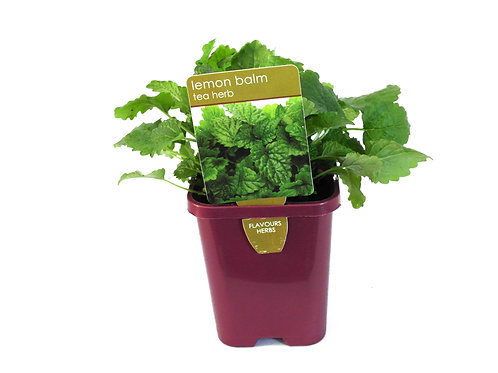 LEMON BALM SINGLE POT SIZE 8CM