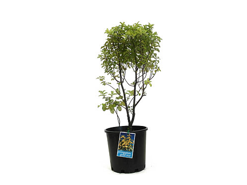 PITTOSPORUM GOLDSTAR TENNUIFOLIUM 20CM