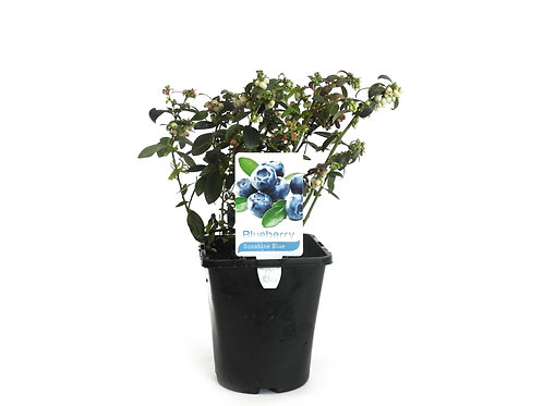 BLUEBERRY SUNSHINE BLUE  POT SIZE  2 LITRE