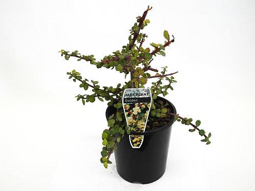 PORTULACA JADE PLANT POT SIZE 14CM