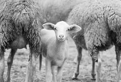 sheep-1684536_1920.jpg