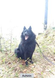 Achirin schwarze Goßspitzhündin im Wald rumsitzen