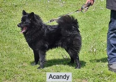 Acandy schwarze Großspitzhündin präsentiert sich