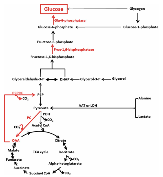 Major enzymes and substrates involved in the regulation of gluconeogenesis. Red arrows and text represent the major enzymes and pathways involved in the regulation of gluconeogenesis.