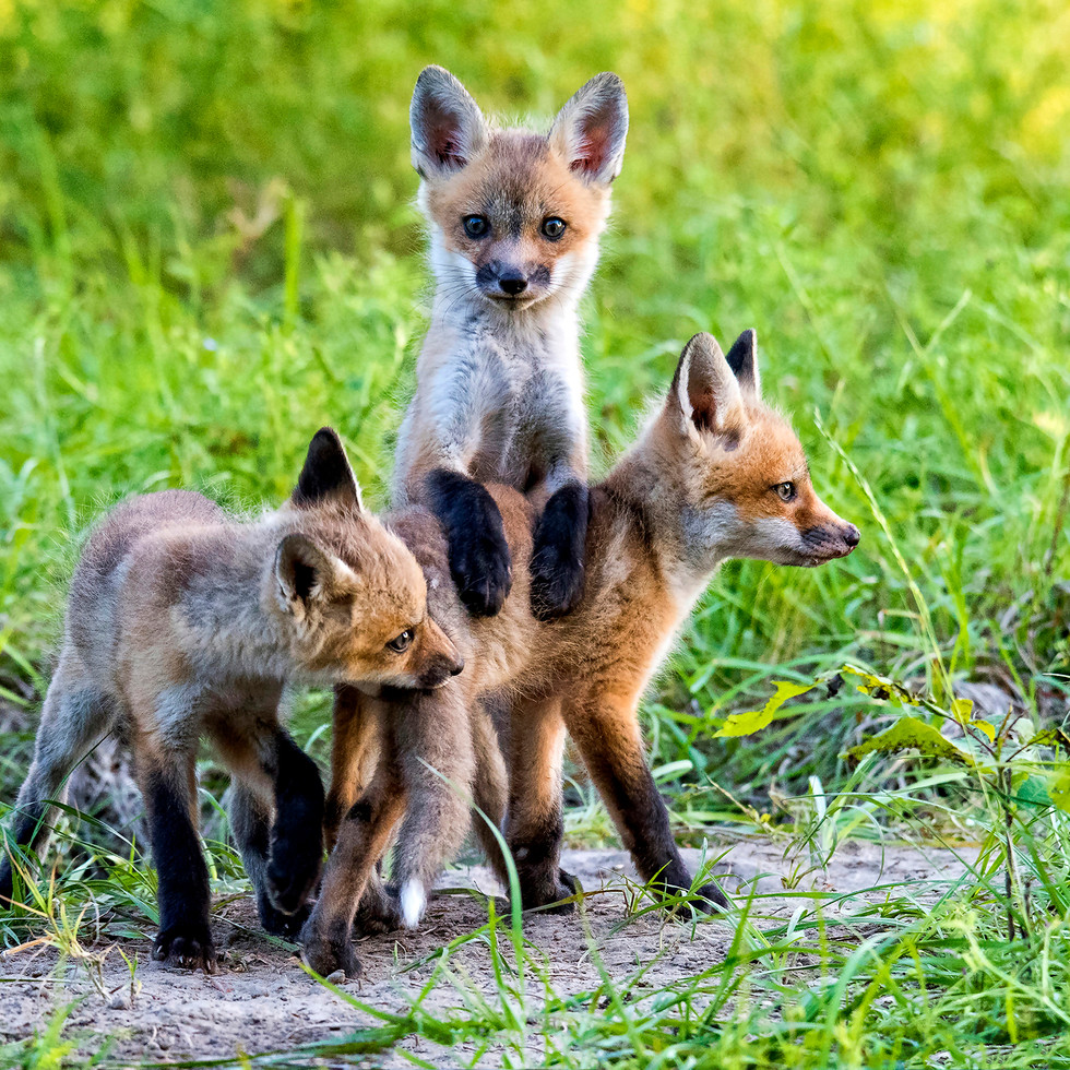 foxes 3.jpg