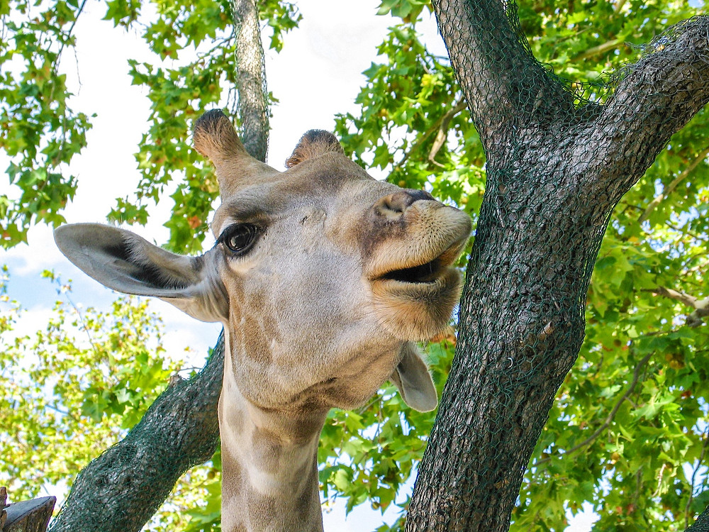 giraffe, tree