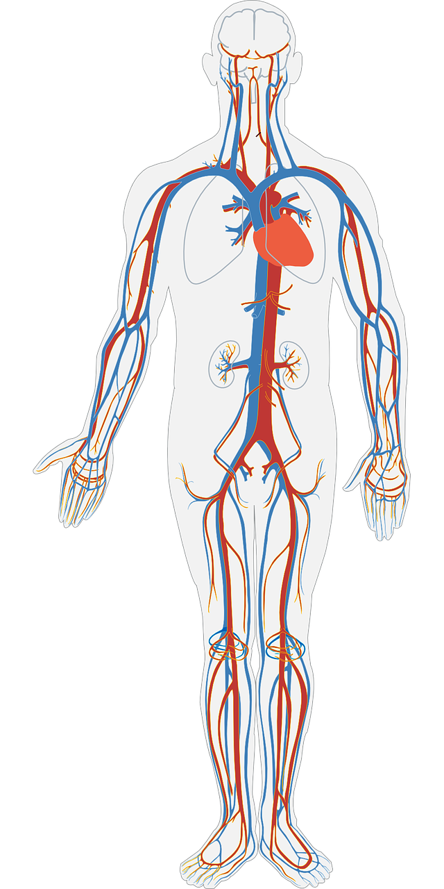 circulatory system, relaxation, blood flow