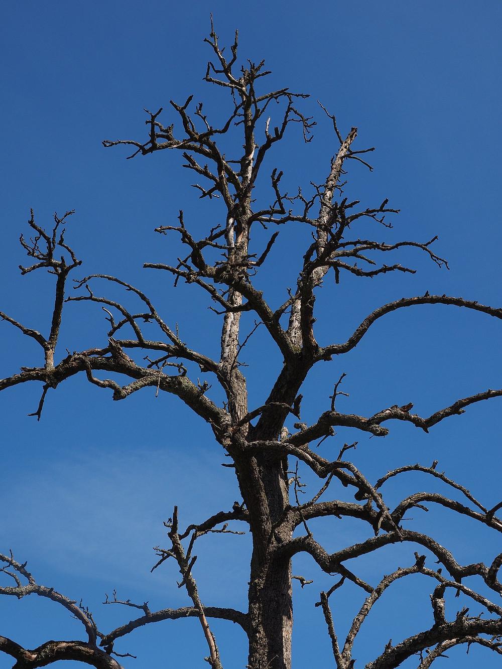 Dead tree, Winter Tree, Blue sky