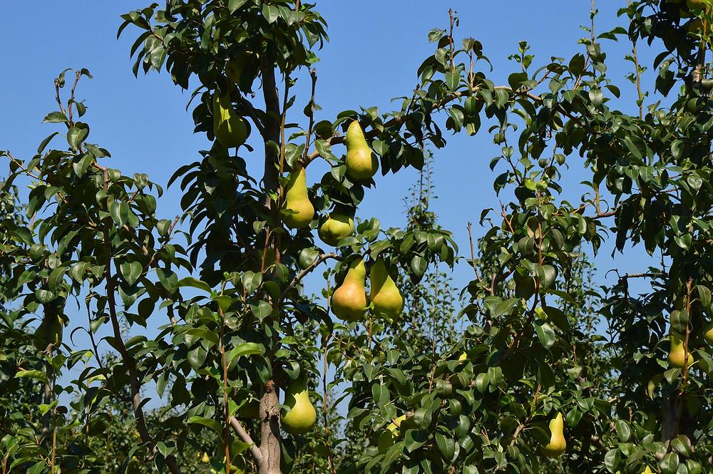 Pears, Pear Tree, Leaves, Blue Sky