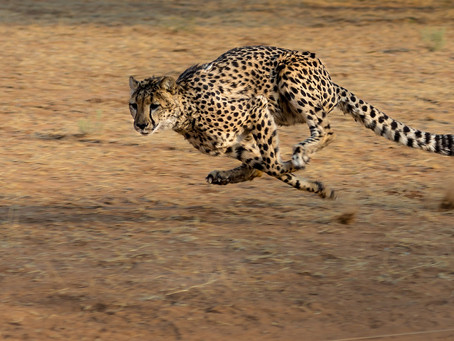 The Lonely Cheetah