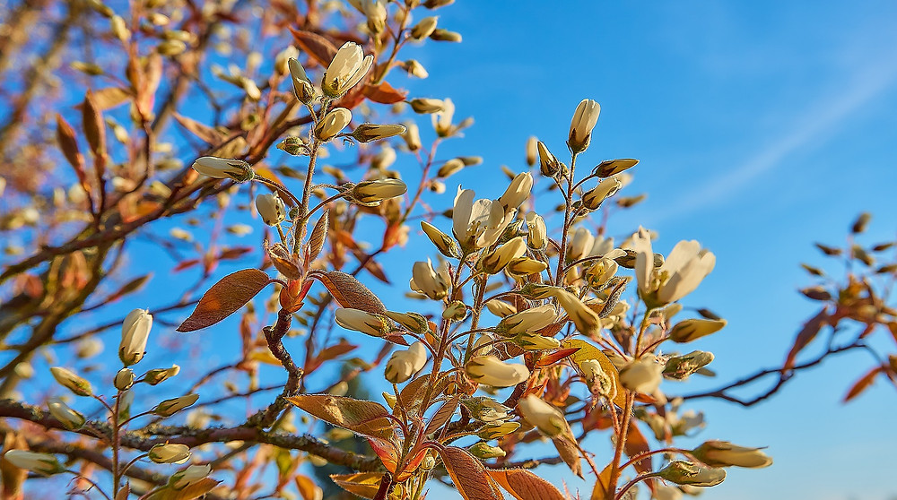 Pear Tree, Buds,