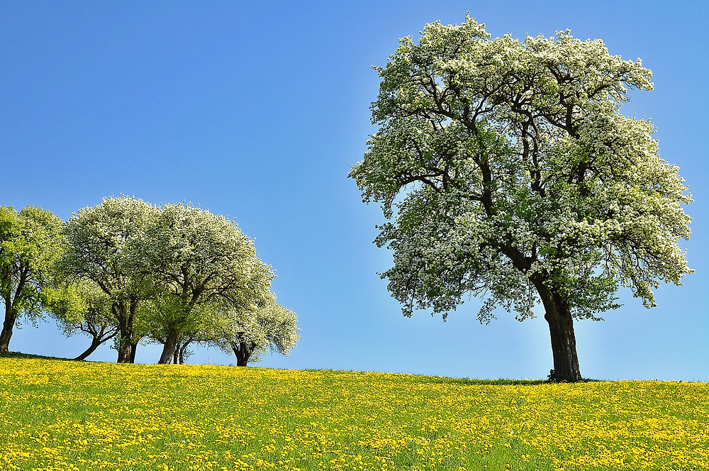 Pear Blossom. Pear tree, Spring, Buttercups, Orchard, Trees
