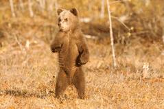 URSUS -bjørner i nord, vandreutstilling