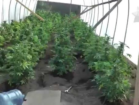 마리화나 불법재배 7명 체포