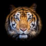 Headshot of Indochinese tiger (Panthera