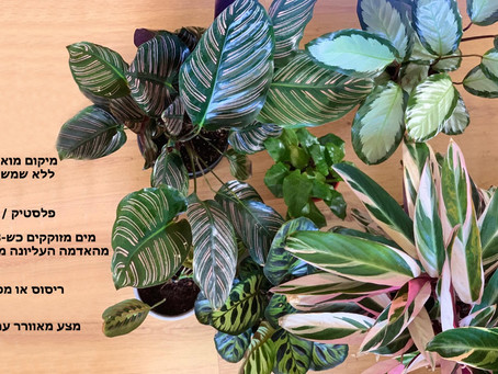 Prayer plants - קלתאות