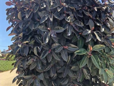 פיקוס גומי מגוון ופיקוס גומי שחור