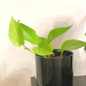 צמחים שישרדו בתנאי אור נמוכים