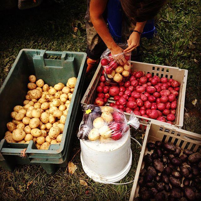 Venez vous ramasser des patates acadiennes au Coin Bio au  #Marché de #Dieppe demain, jour de la #fê