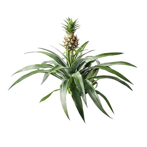 Pineapple Extract Bromelain