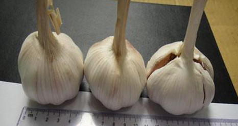 White Garlic romalimited