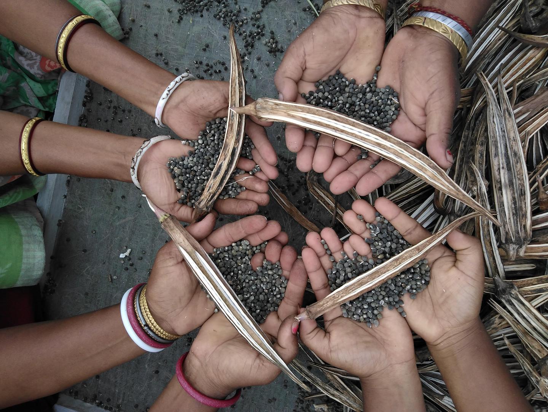 Okra's seeds