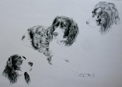 Black and white Spaniel drawing
