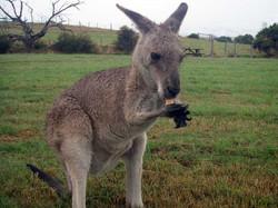 Mansfield Zoo eastern-grey-kangaroo