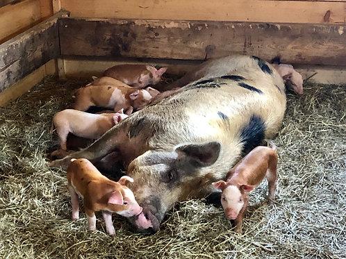 Adopt a Sow! Sponsor a Pig!