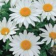 shasta-daisy-alaska-flower-sow-easy-mckenzie-seeds_-_Copy.jpg