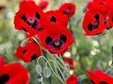 poppy colour.jpg