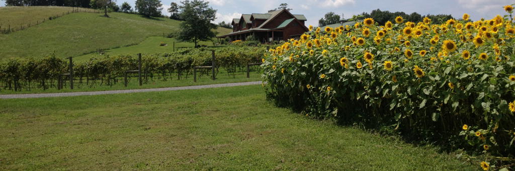 sunflower vineyard long