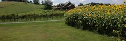 sunflower vineyard long
