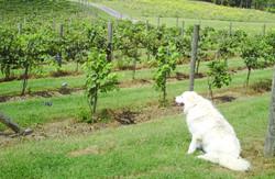 chami vineyard