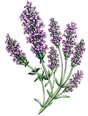 lavender branch.png
