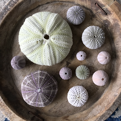 Urchin Collection D