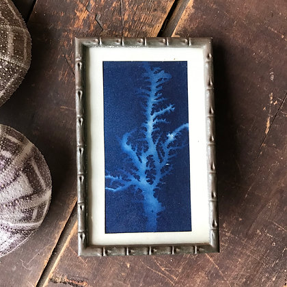 Framed Cyanotype Coral