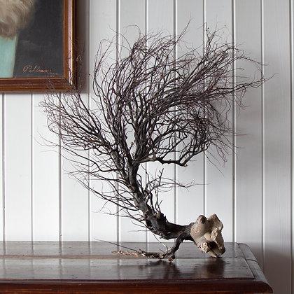 Rare Gorgonian Black Tree Coral
