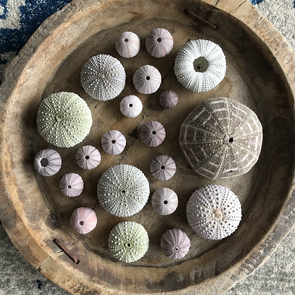 Urchin Collection A