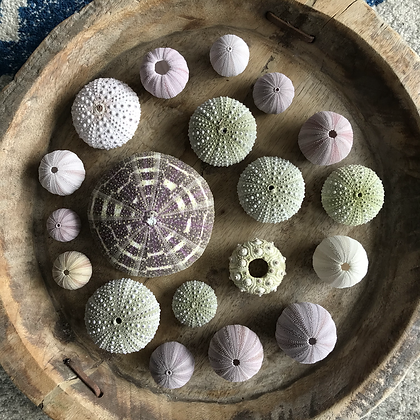 Urchin Collection C