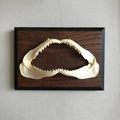 Vintage Mounted Shark Jaws
