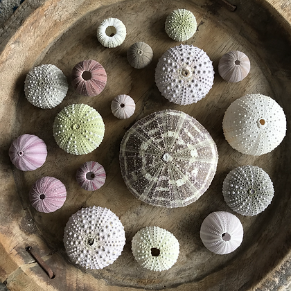 Urchin Collection H