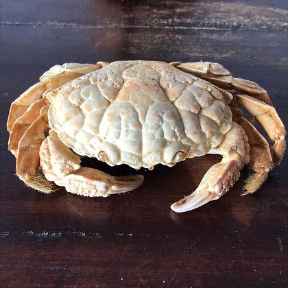 Taxidermy Crab Specimen B