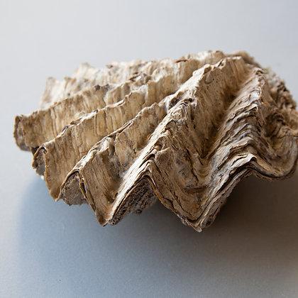 Vintage Cockscomb Shell